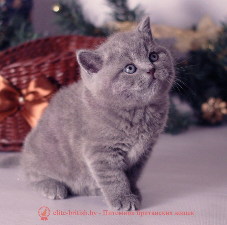 купить британского котенка, купить британца, британец голубой фото, голубые британцы фото, британский кошки голубой, британская голубая кошка, британская голубая кошка фото, британской голубой кошки фото, кот британский голубой, коты британские голубые, голубые британские котята фото, британский голубой котенок фото, британский голубой кот фото, фото британского голубого кота, окрас британских котят голубой фото, британские котята голубого окраса фото, британцы коты фото голубые, кот голубой британец фото, британский голубой котенок, британские голубые котята, британская вислоухая кошка фото голубая, британская голубая кошка фото цена, голубые британцы, голубой британец