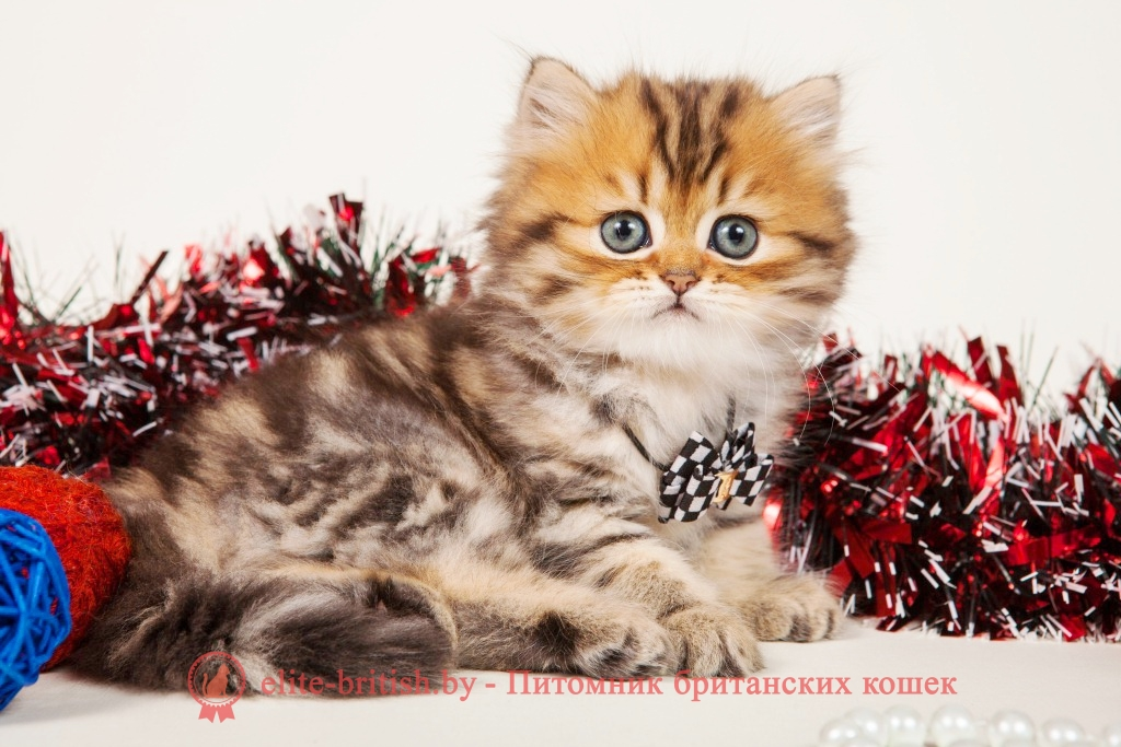 Порода кошек хайлендер фото