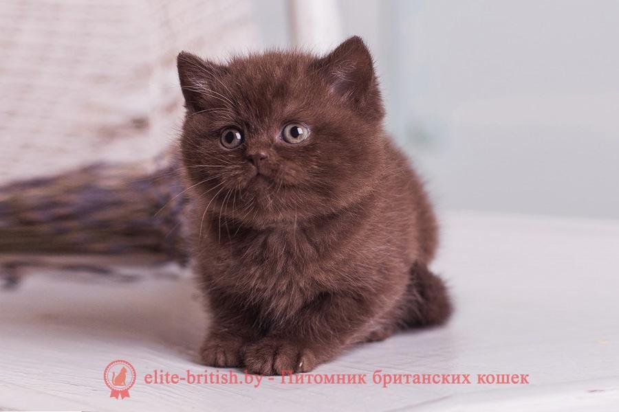 Британская короткошерстная. Котята - продам в Москве в разделе ... | 600x900