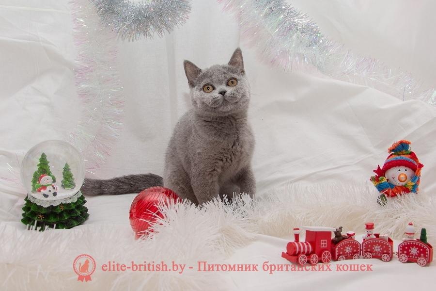 Британский котенок Ceitlyn (Кейтлин) голубого окраса, помет от 14.08.2018