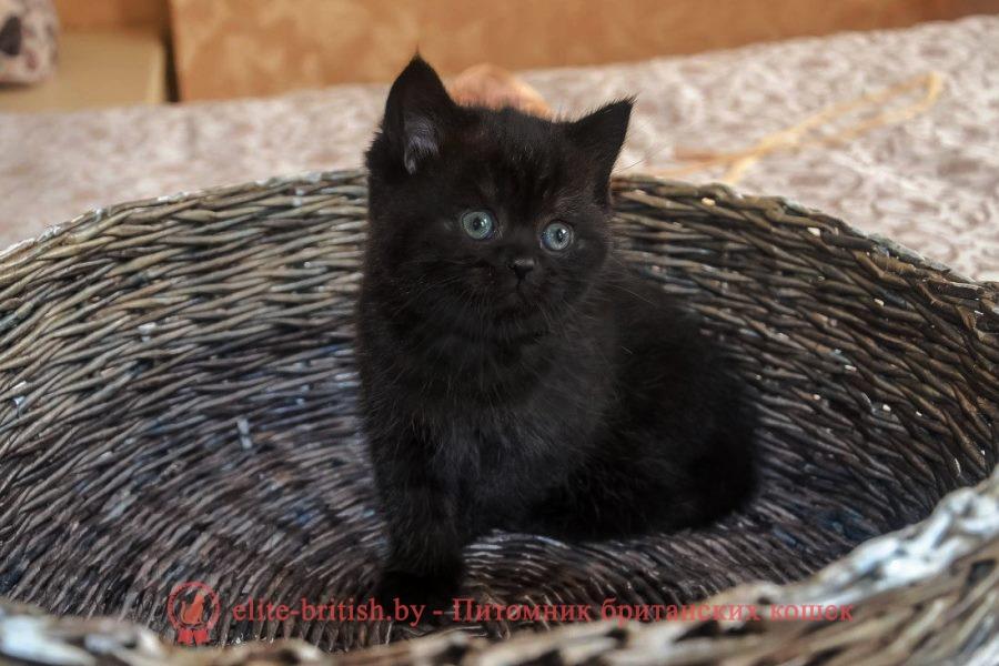 купить британского котенка, купить британца, британец черный дым, британский кот черный дым, британские котята черный дым, черный дым британская кошка фото, британцы черный дым фото, кошка британская черный дым, ританские котята окрас черный дым, британские котята черный дым фото