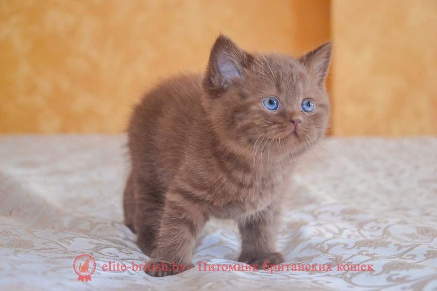 купить британского котенка, купить британца, бежевые британцы, бежевый британец фото, кошки британские бежевые, бежевые британские коты, британские котята кремовые фото, британская пятнистая кошка, кот британский пятнистый, шоколадные британцы фото, британские кошки шоколадного окраса фото, британские шоколадные котята фото, британские кошки шоколадный окрас, шоколадный британец, британская шоколадная кошка фото, британский шоколадный кот фото, купить британского котенка шоколадного окраса, котенок британец шоколадный, шоколадные британцы котята фото, шоколадная британская кошка, шоколадный британский кот, британские коты шоколадного окраса, британские коты шоколадного окраса фото, британские котята шоколадного окраса фото, британец кот шоколадный, шоколадный британский котенок, британский котенок шоколадного окраса, шоколадные британские котята купить, британский вислоухий шоколадный котенок, купить шоколадного котенка британца, кошки британцы шоколадные, шоколадные британцы купить, британцы окрас шоколадный, британец шоколадного цвета