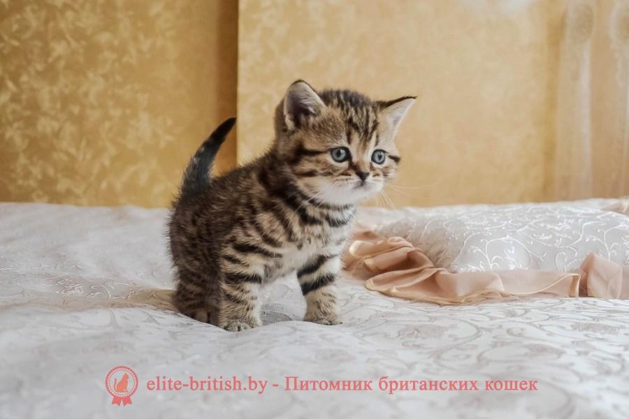 тигровая британская кошка, британец тигровый, британец табби тигровый, тигровый британский котенок, британский котенок тигрового окраса, британская тигровая кошка фото, тигровые британские котята фото, британские котята табби, британские кошки табби, короткошерстная британская кошка серебристый табби, табби британец, британцы серебристый табби, британские коты табби, британские котята браун табби, британец табби тигровый, британская короткошерстная кошка табби, британская кошка серебристый табби, окрасы британских кошек табби, британские котята окраса табби, британец окрас табби, фото британских котят табби, британские коты табби фото, табби британец фото, британская кошка табби фото, британская кошка окрас табби фото