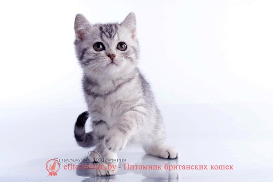 купить британского котенка, купить британца, британцы окраса вискас, британцы вискас фото, котенок британец вискас, британец вискасного окраса, британская кошка вискас, окрас вискас британских кошек, британская кошка фото вискас, британская кошка окрас вискас фото, британские котята вискас купить, британские котята цвета вискас, вислоухий британец вискас, британец окрас вискас фото, британский кот вискас, британский котенок вискас, британские котята окрас вискас купить, британец вискас купить, британец кот вискас, вискасный британец, коты британцы вискас фото, британцы цвета вискас, британский кот серебристый, серебристый британец фото, серебристые британцы, британские серебристые котята, тикированный британец, серебристый тикированный британец, кошки британские серебристые, британская короткошерстная окраса серебро