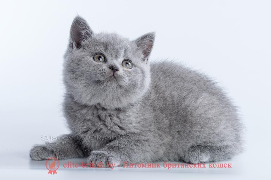 британский голубой, британская голубая, голубой британец, голубые британцы, кошка британская голубая, британская голубая фото, британский голубой фото, британские голубые коты, голубой британский кот, британские голубые котята, британский голубой котенок, голубой британец фото, голубые британцы фото, британская голубая кошка фото, фото британской голубой кошки, голубые британцы котята, котята голубой британец, голубой британец кот, коты голубые британцы, британские голубые коты фото, голубой британский кот фото, голубой британский котенок фото, голубые британские котята фото, порода британская голубая, порода британский голубой, британский короткошерстный голубой, короткошерстная британская голубая, порода кошек британский голубой, порода кошки британская голубая, британские котята голубого окраса, британские котята голубой окрас, кошки голубой британец, британцы голубые котята фото, голубой британец котенок фото, голубой британец кот фото, фото кота британца голубого, британские кошки голубого окраса, голубой окрас британских кошек, британец голубого окраса, британский кот голубого окраса, британский кот окрас голубой, голубой окрас британцев, фото британских котят голубого окраса, фото британских котят окрас голубой, британская голубая короткошерстная кошка, голубая британская кошка основные сведения, британский короткошерстный голубой кот, британская голубая кошка описание породы, порода голубой британец, фото британских котов голубого окраса, фото британской кошки голубого окраса, британская кошка с голубыми глазами, сведения о британской голубой кошке, порода кошек голубой британец, британская голубая шиншилла, британские голубые плюшевые котята, британские котята короткошерстные голубые, голубой британец короткошерстный, британские голубой табби котята, британские котята с голубыми глазами, британская голубая характер, кошки голубой британец фото, кошки голубые британцы фото, питомник голубых британских кошек, британские коты с голубыми глазами, британский гол