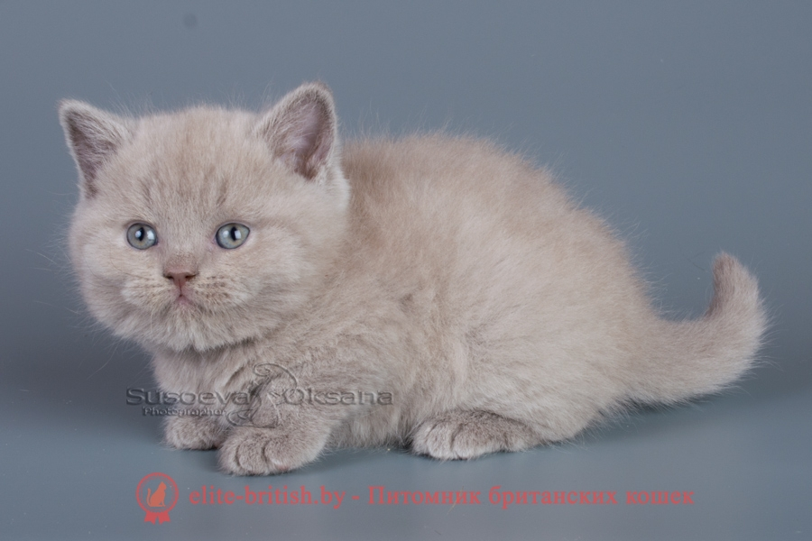лиловый британец, фото лиловых британцев, британец лиловый фото, британский лиловый котенок, фото лиловых британских котят, британские котята фото лиловые, британские коты лилового окраса фото, британская кошка фото лиловая, фото лиловой британской кошки, британские котята лилового окраса фото, лиловая британская кошка, британские котята лилового окраса, британский лиловый кот фото, лиловый британский кот, лиловый окрас британских кошек фото, кот британец лиловый фото, британец лилового цвета, лиловый окрас британских кошек, британцы лилового окраса, британец лилового окраса фото, лиловый цвет британских кошек, британские котята лилового цвета, лиловый цвет британских кошек, британские котята лилового цвета, британская короткошерстная кошка лиловая, котята британцы лиловые фото, лиловые британцы котята, британцы коты лиловые, британский кот лилового окраса, британская кошка лилового окраса фото, британские котята лилового окраса фото, британцы лилового окраса фото, британский кот лилового окраса фото