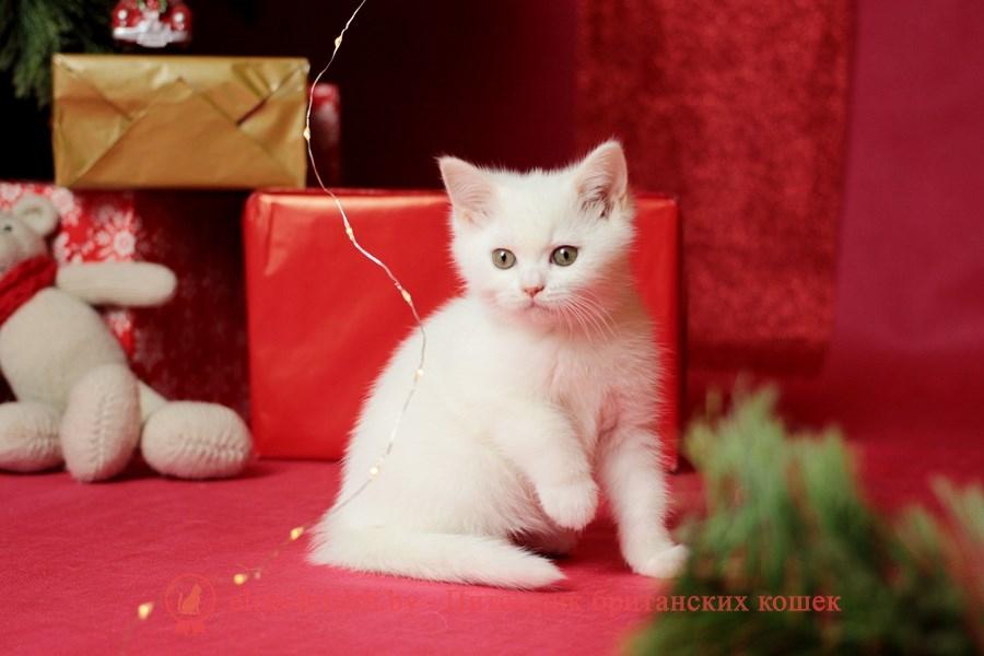 купить британского белого котенка, британец белого окраса, британские котята белого окраса, белые британцы, белый британец, белые британские коты фото, британский белый кот фото, белые британские котята фото, британский котенок белый фото, белый британец фото, белые британцы фото, британские коты белые, белый британский кот, британские котята белые, британский белый котенок, коты белые британцы, белый британец кот, вислоухий британец белый фото, вислоухие белые британцы фото, белый британский вислоухий кот, белые британские котята купить, белый вислоухий британец, черно белые британцы, черно белый британец, белый британец купить, черно белый британский кот, британец белый цена, британец котенок белый, белые британцы котята, белые британцы цена, кот британец черно белый, кот британец фото белый