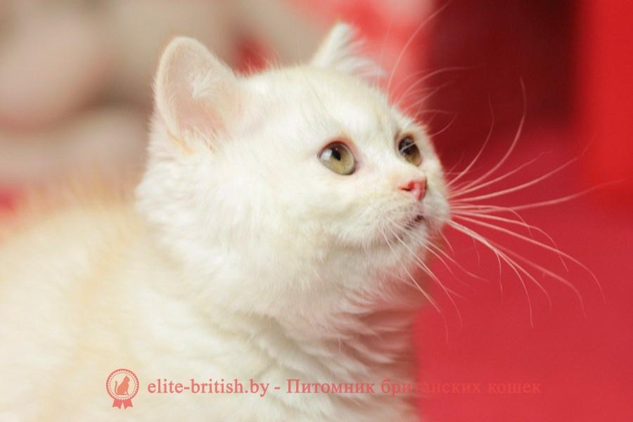 камео окрас, камео британец, камео британский кот, камео британская кошка, камео британские котята, камео окрас фото, британский кот серебристый, серебристый британец фото, серебристые британцы, британские серебристые котята, затушеванный британец, серебристый затушеванный британец, кошки британские серебристые, британская короткошерстная окраса серебро, британцы серебристая шиншилла, котята британские серебристые шиншиллы, британский кот серебристая шиншилла, британские кошки серебристая шиншилла, британская окрас серебристая шиншилла, затушеванный британец, серебристый затушеванный британец, кошки британские серебристые, британская короткошерстная окраса серебро, британская кошка тикированная, тикированный британец