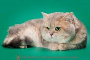 Британские кот голубой золотой мраморный CH. Elvis Rare Color (Bri ay 22 64)