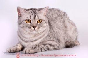 Британская кошка черного серебристого пятнистого окраса IC Prima BarbaraPrus(BRI n 24 )