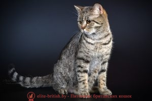 Британская кошка черного пятнистого окраса IC Penny Bonita Prus (BRI n 24 )