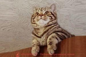 Британская кошка CH. Tiana (BRI b 22)