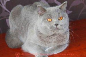 Британский кот голубого окраса Папа: Ch. Quentin Bentley Mur (BRI a)