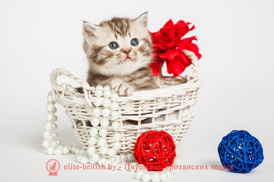 Серебристый табби окрас британских кошек (Британцы вискас)