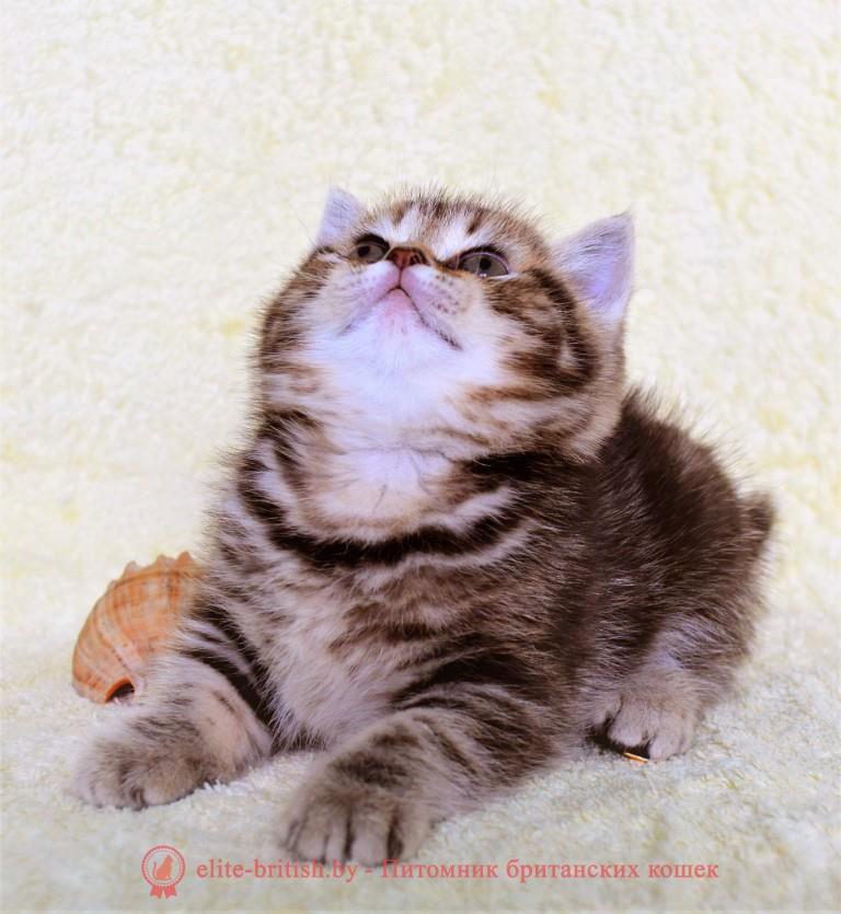 тигровая британская кошка, британец тигровый, британец табби тигровый, тигровый британский котенок, британский котенок тигрового окраса, британская тигровая кошка фото, тигровые британские котята фото, британский кот мраморный, мраморный британец, мраморный окрас британских котят, британский кот мраморного окраса, мраморный окрас британской кошки, британец мраморного окраса, котята британцы мраморный окрас, мраморный окрас британских котят, серебристый мраморный британец, британская мраморная кошка характер, британский кот мраморного окраса, британец голубой мрамор, британец черный мрамор на серебре, красный мраморный британец, британская мраморная кошка, мраморный окрас британской кошки, британские кошки черный мрамор, мраморная британская короткошерстная кошка