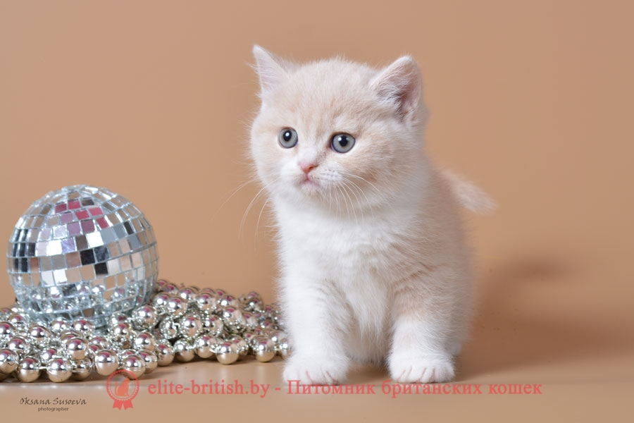 биколор британская кошка, кот британский биколор, британский котенок биколор, голубой биколор британец, биколор британец, британские котята биколор фото, британцы биколор фото
