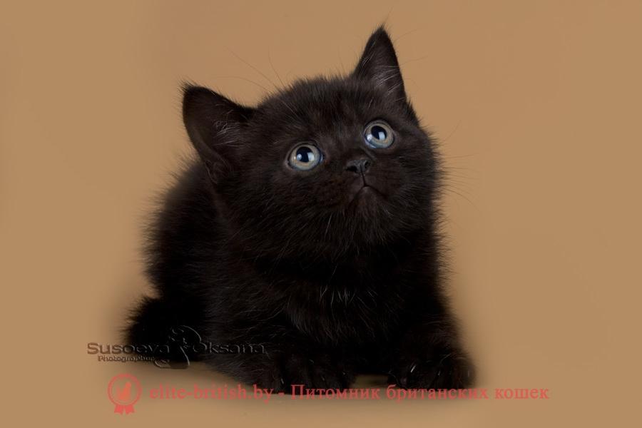 британец черный дым, британский кот черный дым, британские котята черный дым, черный дым британская кошка фото, британцы черный дым фото, кошка британская черный дым, ританские котята окрас черный дым, британские котята черный дым фото