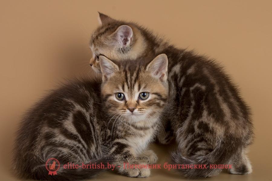 купить британского котенка, купить британца, тигровая британская кошка, британец тигровый, британец табби тигровый, тигровый британский котенок, британский котенок тигрового окраса, британская тигровая кошка фото, тигровые британские котята фото, британский кот мраморный, мраморный британец, мраморный окрас британских котят, британский кот мраморного окраса, мраморный окрас британской кошки, британец мраморного окраса, котята британцы мраморный окрас, мраморный окрас британских котят, серебристый мраморный британец, британская мраморная кошка характер, британский кот мраморного окраса, британец голубой мрамор, британец черный мрамор на серебре, красный мраморный британец, британская мраморная кошка, мраморный окрас британской кошки, британские кошки черный мрамор, мраморная британская короткошерстная кошка