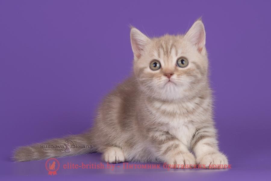 Британские котята шоколадного серебристого мраморного окраса, помет 12.12.2018