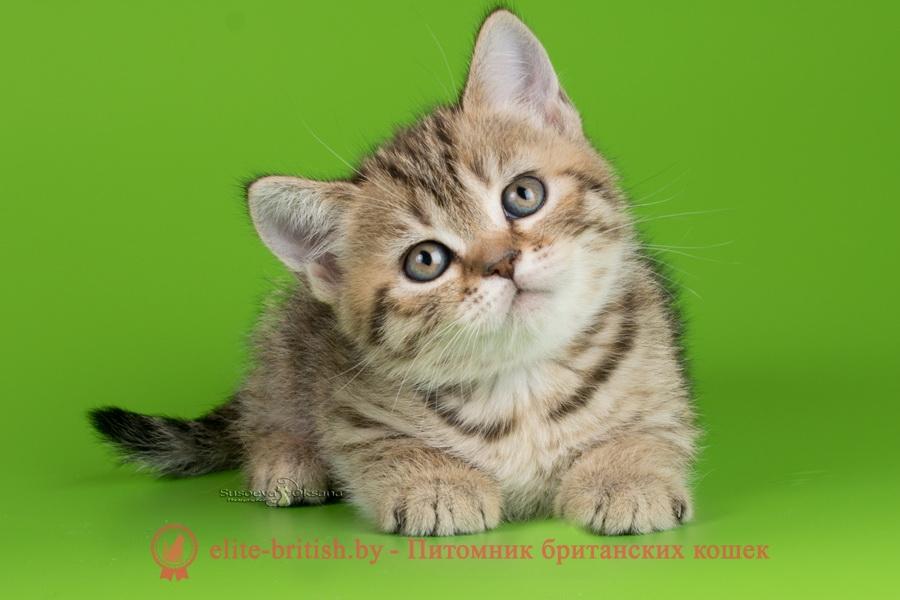 купить британского котенка, купить британца, тигровая британская кошка, британец тигровый, британец табби тигровый, тигровый британский котенок, британский котенок тигрового окраса, британская тигровая кошка фото, тигровые британские котята фото, британская пятнистая кошка, кот британский пятнистый, британские котята табби, британские кошки табби, короткошерстная британская кошка серебристый табби, табби британец, британцы серебристый табби, британские коты табби, британские котята браун табби, британец табби тигровый, британская короткошерстная кошка табби, британская кошка серебристый табби, окрасы британских кошек табби, британские котята окраса табби, британец окрас табби, фото британских котят табби, британские коты табби фото, табби британец фото, британская кошка табби фото, британская кошка окрас табби фото, британцы окраса вискас, британцы вискас фото, котенок британец вискас, британец вискасного окраса, британская кошка вискас, окрас вискас британских кошек, британская кошка фото вискас, британская кошка окрас вискас фото, британские котята вискас купить, британские котята цвета вискас, вислоухий британец вискас, британец окрас вискас фото, британский кот вискас, британский котенок вискас, британские котята окрас вискас купить