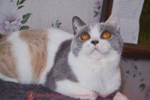 Британская кошка черепаховый голубой биколор (калико) CH. Westa Kis (BRI g 03)