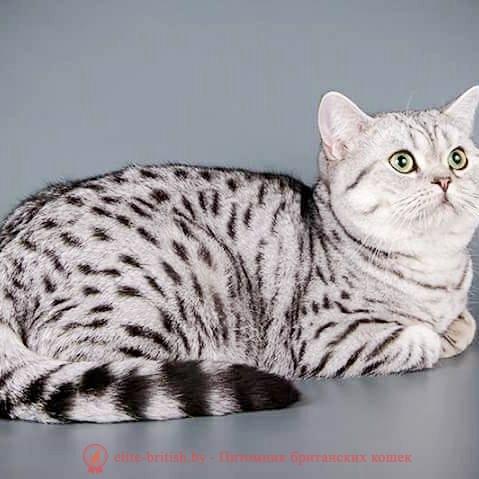 британский кот серебристый, серебристый британец фото, серебристые британцы, британские серебристые котята, тикированный британец, серебристый тикированный британец, кошки британские серебристые, британская короткошерстная окраса серебро, британские котята табби, британские кошки табби, короткошерстная британская кошка серебристый табби, табби британец, британцы серебристый табби, британские коты табби, британские котята браун табби, британец табби тигровый, британская короткошерстная кошка табби, британская кошка серебристый табби, окрасы британских кошек табби, британские котята окраса табби, британец окрас табби, фото британских котят табби, британские коты табби фото, табби британец фото, британская кошка табби фото, британская кошка окрас табби фото, британцы окраса вискас, британцы вискас фото, котенок британец вискас, британец вискасного окраса, британская кошка вискас, окрас вискас британских кошек, британская кошка фото вискас, британская кошка окрас вискас фото, британские котята вискас купить, британские котята цвета вискас, вислоухий британец вискас, британец окрас вискас фото, британский кот вискас, британский котенок вискас, британские котята окрас вискас купить, британец вискас купить, британец кот вискас, вискасный британец, коты британцы вискас фото, британцы цвета вискас, британский кот серебристый, серебристый британец фото, серебристые британцы, британские серебристые котята, британская полосатая короткошерстная кошка, британский котенок полосатый, полосатые британцы, британские полосатые кошки, полосатые британские коты, полосатые британцы котята, британец кот полосатый, кошки британцы полосатые, британский полосатый кот фото, британские полосатые котята фото, котята британцы фото полосатые, полосатые британцы фото, фото британцев котов полосатых