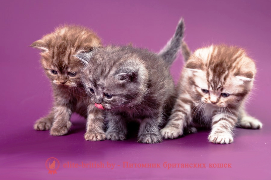 Окрасы будущих котят от вязок производителей однотонных и дымчатых окрасов