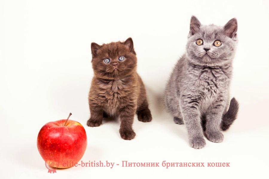 Окрасы будущих котят от вязок производителей однотонных окрасов