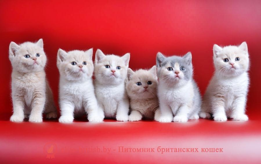 Окрасы будущих котят от вязок производителей однотонных и биколор окрасов