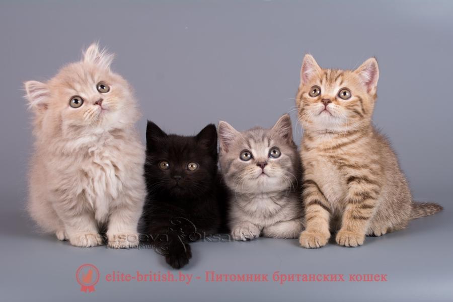 Окрасы будущих котят от вязок производителей однотонных и табби окрасов