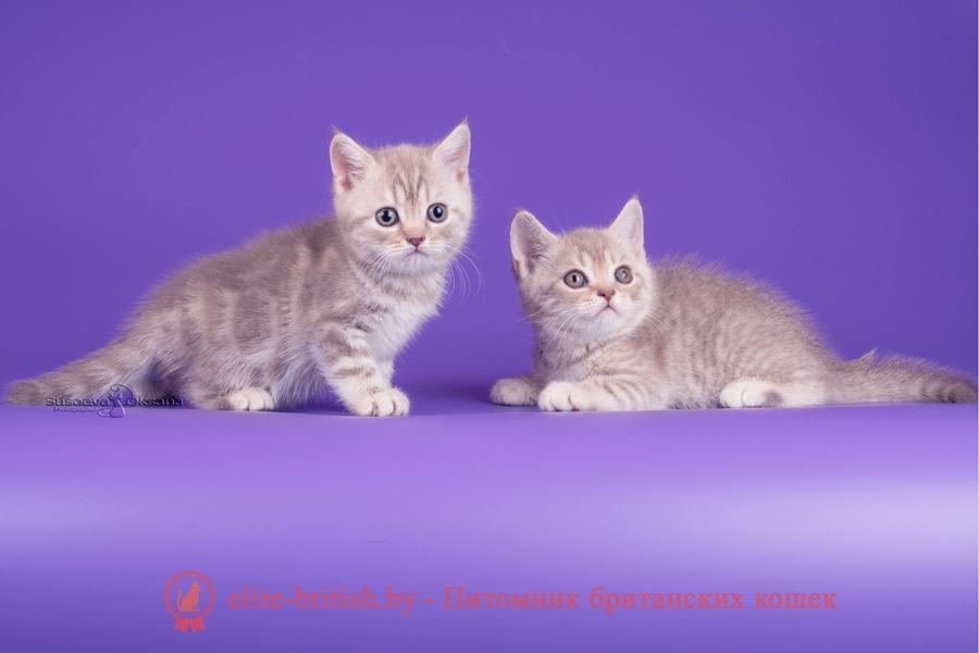Окрасы будущих котят от вязок котов мрамор, пятнистых/полосатых, тикированных окрасов