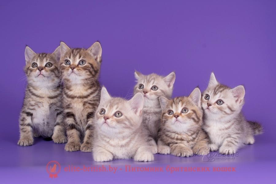 Генетика - Определение окрасов будущих котят