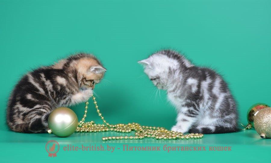 Окрасы будущих котят от вязок производителей серебристых и золотых окрасов
