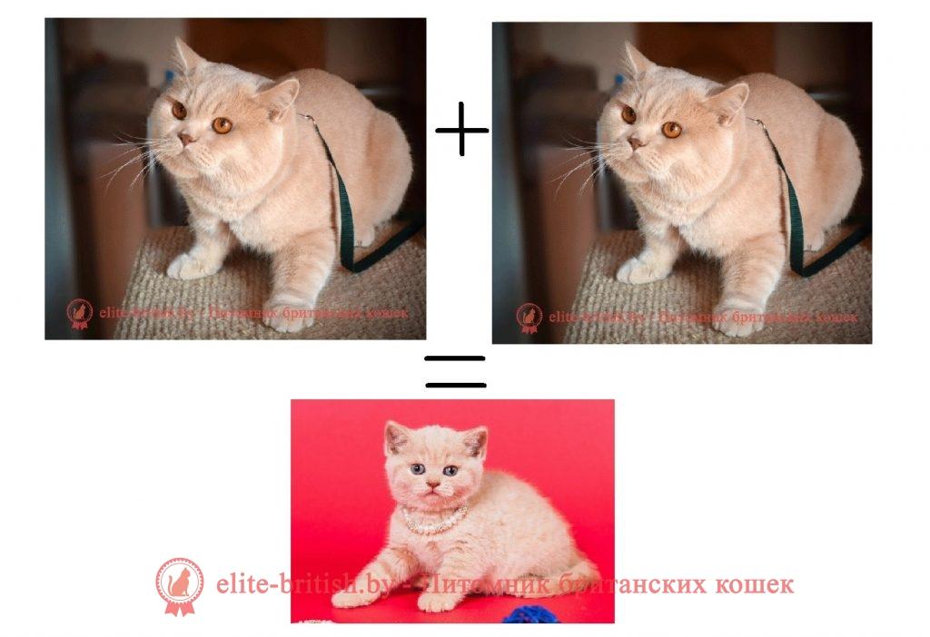 Кремовый окрас британских кошек, бежевый, персиковый. Бежевые британцы фото. Британские кремовые коты фото. Британские котята кремового окраса. Британец персикового цвета фото. Бежеаве британцы