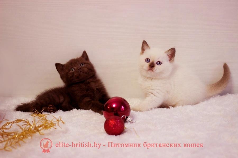 Окрасы будущих котят от вязок производителей однотонных и пойнт окрасов