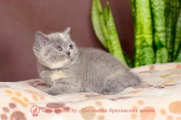 Окрасы будущих котят от вязок производителей однотонных и черепаховых окрасов
