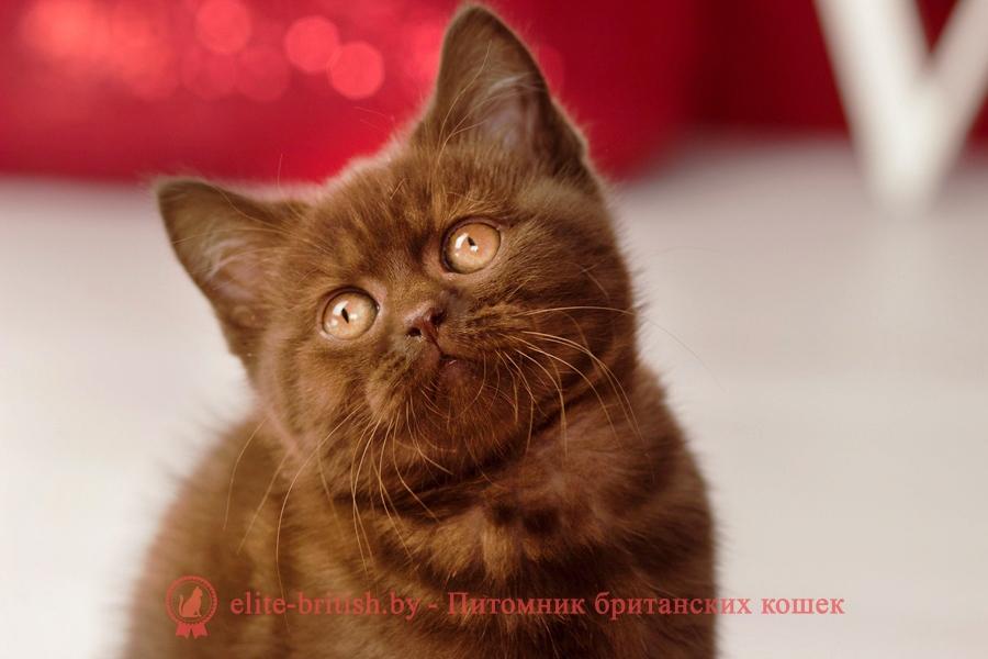 шоколадные британцы фото, британские кошки шоколадного окраса фото, британские шоколадные котята фото, британские кошки шоколадный окрас, шоколадный британец, британская шоколадная кошка фото, британский шоколадный кот фото, купить британского котенка шоколадного окраса, котенок британец шоколадный, шоколадные британцы котята фото, шоколадная британская кошка, шоколадный британский кот, британские коты шоколадного окраса, британские коты шоколадного окраса фото, британские котята шоколадного окраса фото, британец кот шоколадный, шоколадный британский котенок, британский котенок шоколадного окраса, шоколадные британские котята купить, британский вислоухий шоколадный котенок, купить шоколадного котенка британца, кошки британцы шоколадные, шоколадные британцы купить, британцы окрас шоколадный, британец шоколадного цвета