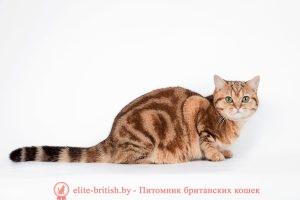 Британская кошка золотая мраморная
