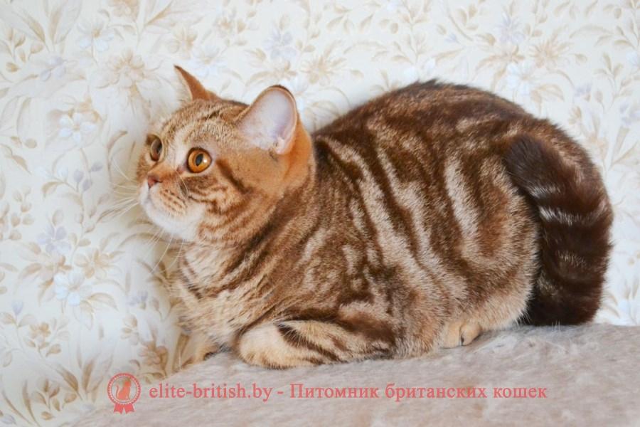 Британская кошка Nebraska, помет от 04.03.2018