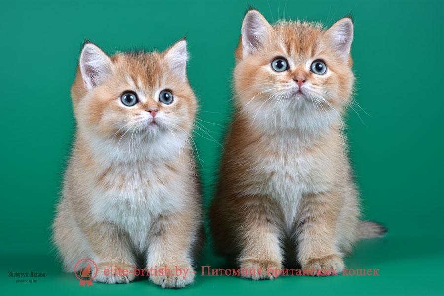 золотой британский кот, золотые британцы фото, золотой британец, британская кошка золотая шиншилла, британский кот шиншилла золотая, золотой тикированный британец, британец золотая шиншилла, британец золотистый, котята британские окрас золотая шиншилла, британская кошка золотая шиншилла фото, британец окрас золотая шиншилла фото, британский золотой котенок, британская золотая кошка, британские котята золотая шиншилла, британский золотистый кот, кот золотой британец, британцы окрас золотой, британцы окрас золотая шиншилла, котята британцы золотая шиншилла, золотистые британские котята, британские котята золотого окраса, британцы золотая шиншилла фото, золотой окрас британских кошек, британцы золотого окраса, британские котята золотого окраса, британец окрас золотая шиншилла, британские котята окраса золотая шиншилла, питомник британских кошек золотых окрасов, британец окрас золотая шиншилла фото, затушеванный британец, серебристый затушеванный британец, кошки британские серебристые, британская короткошерстная окраса серебро, золотой тикированный британец, британская кошка тикированная, тикированный британец