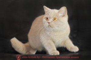Британская кошка фавн Cesarina Masson Club (BRI p)
