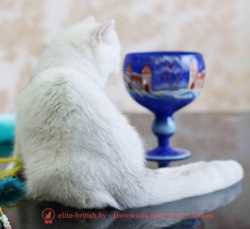 британский кот серебристый, серебристый британец фото, серебристые британцы, британские серебристые котята, затушеванный британец, серебристый затушеванный британец, кошки британские серебристые, британская короткошерстная окраса серебро, британцы серебристая шиншилла, котята британские серебристые шиншиллы, британский кот серебристая шиншилла, британские кошки серебристая шиншилла, британская окрас серебристая шиншилла, затушеванный британец, серебристый затушеванный британец, кошки британские серебристые, британская короткошерстная окраса серебро, британская кошка тикированная, тикированный британец