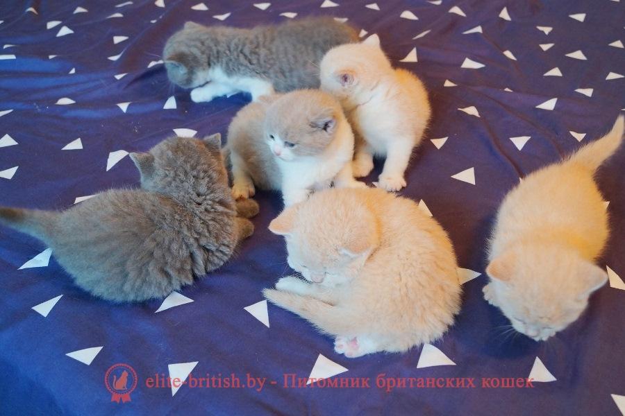 биколор британская кошка, кот британский биколор, британский котенок биколор, голубой биколор британец, биколор британец, британские котята биколор фото, британцы биколор фото, британец бежевые британцы, бежевый британец фото, кошки британские бежевые, бежевые британские коты, британские котята кремовые фото, британские кремовые коты фото, кремовый британец фото, британские котята кремового окраса фото, британец персикового цвета фото, британские котята персиковые фото, британские персиковые котята, британец персиковый, британец ,голубой фото, голубые британцы фото, британский кошки голубой, британская голубая кошка, британская голубая кошка фото, британской голубой кошки фото, кот британский голубой, коты британские голубые, голубые британские котята фото, британский голубой котенок фото, британский голубой кот фото, фото британского голубого кота, окрас британских котят голубой, лиловый британец,  британец лиловый фото, фото лиловых британцев, британский лиловый котенок,  британские коты лилового окраса фото, фото лиловых британских котят,  британские котята фото лиловые, британская кошка фото лиловая, фото лиловой британской кошки,