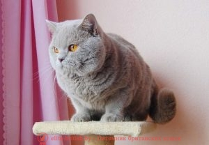 Британский кот лилового окраса CH. Emmanuil Bentley MurBY (BRI с)