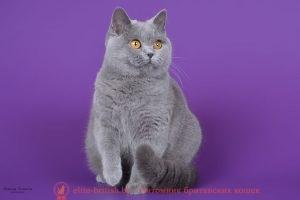 Британская голубая кошка Unona Blue Angel MK