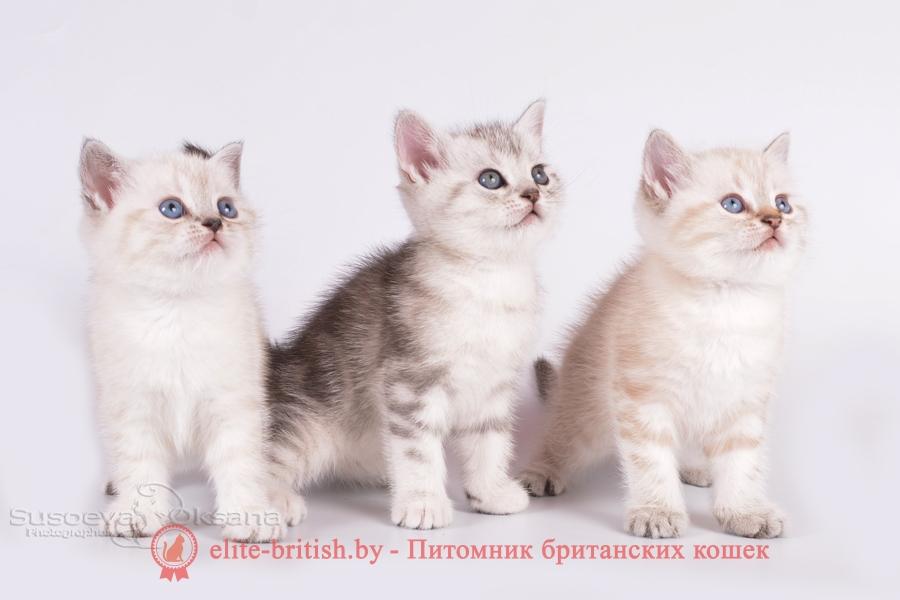 британский кот серебристый, серебристый британец фото, серебристые британцы, британские серебристые котята, затушеванный британец, серебристый затушеванный британец, кошки британские серебристые, британская короткошерстная окраса серебро, британцы серебристая шиншилла, котята британские серебристые шиншиллы, британский кот серебристая шиншилла, британские кошки серебристая шиншилла, британская окрас серебристая шиншилла