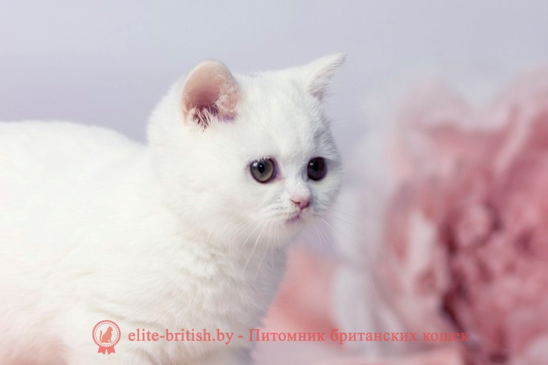 купить британского котенка, купить британца, купить британского белого котенка, британец белого окраса, британские котята белого окраса, белые британцы, белый британец, белые британские коты фото, британский белый кот фото, белые британские котята фото, британский котенок белый фото, белый британец фото, белые британцы фото, британские коты белые, белый британский кот, британские котята белые, британский белый котенок, коты белые британцы, белый британец кот, вислоухий британец белый фото, вислоухие белые британцы фото, белый британский вислоухий кот, белые британские котята купить, белый вислоухий британец, черно белые британцы, черно белый британец, белый британец купить, черно белый британский кот, британец белый цена, британец котенок белый, белые британцы котята, белые британцы цена, кот британец черно белый, кот британец фото белый