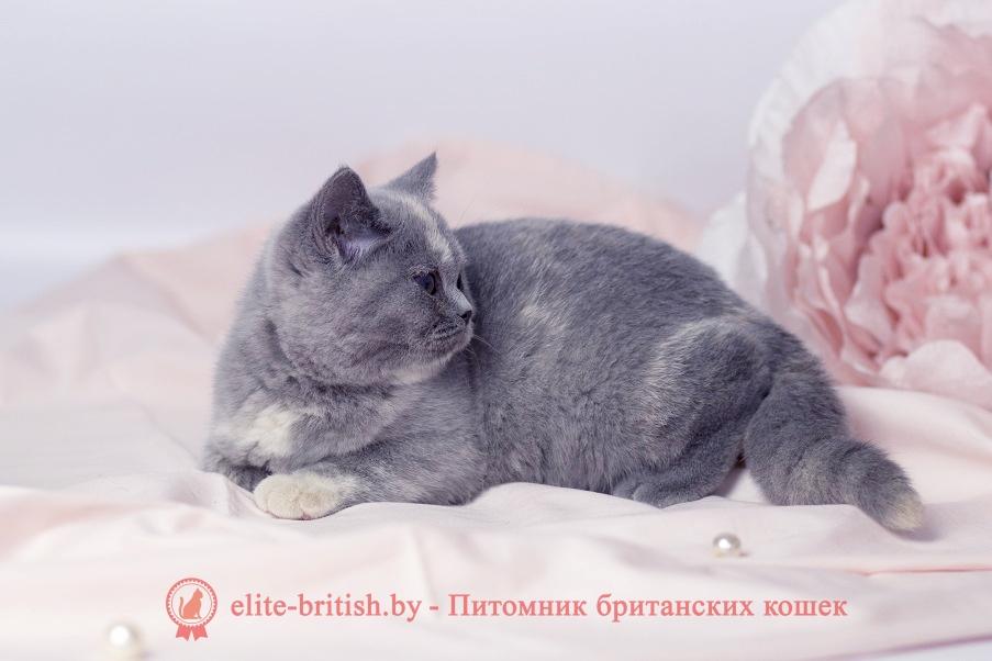 британские котята черепахового окраса фото, черепаховый окрас британской кошки фото, черепаховый британец, британская черепаховая кошка фото, британцы черепахового окраса фото, кошки британские черепахового окраса, черепаховый британский кот, британские коты черепахового окраса, британская черепаховая кошка, британские черепаховые котята, британские котята черепахового окраса, британцы черепаховый окрас, черепаховые британцы фото, британские кошки черепахового окраса, британцы черепахового окраса, британская кошка черепаховый окрас фото, котята британские черепаховый окрас, британец черепахового окраса фото, британские котята черепахового окраса фото, британская кошка черепаший окрас, британский кот черепахового окраса