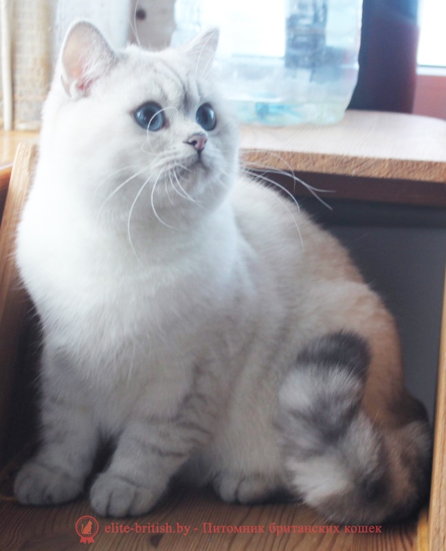 поинт серебристый затушеванный BRI ns 11 33, британский кот серебристый, серебристый британец фото, серебристые британцы, британские серебристые котята, затушеванный британец, серебристый затушеванный британец, кошки британские серебристые, британская короткошерстная окраса серебро, британцы серебристая шиншилла, котята британские серебристые шиншиллы, британский кот серебристая шиншилла, британские кошки серебристая шиншилла, британская окрас серебристая шиншилла, британский кот блю поинт, британец колор поинт, британская кошка поинт колор, ританский кот поинт, британские котята поинт, британские котята блю поинт, ританские котята колор поинт, блю поинт британец, британцы лилак поинт, британец поинт, британские котята сил поинт, британские кошки блю поинт, британские котята окраса блю поинт, британец блю поинт фото, британец колор поинт фото, британская кошка колор поинт фото, блю пойнт британские кошки, британские кошки колор пойнт, блю пойнт британские котята, блю пойнт британцы, колор пойнт британец, кот британский колор пойнт, британские котята колор пойнт