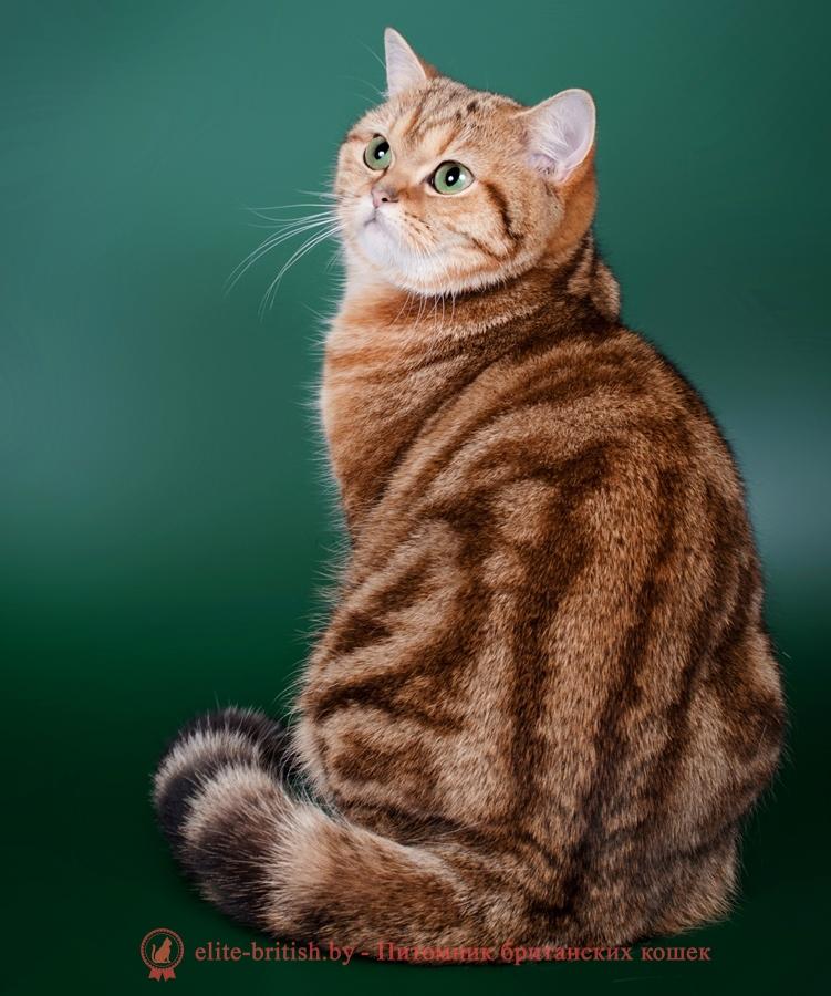 купить британского котенка, купить британца, золотой мраморный британский кот, золотые мраморный британцы фото, золотой мраморный британец, британская кошка золотая шиншилла, британский кот шиншилла золотая, золотой мраморный британец, британец золотая шиншилла, британец золотистый, котята британские окрас золотая шиншилла, британская кошка золотая шиншилла фото, британец окрас золотая шиншилла фото, британский золотой котенок, британская золотая кошка, британские котята золотая шиншилла, британский золотистый кот, кот золотой британец, британцы окрас золотой, британцы окрас золотая шиншилла, котята британцы золотая шиншилла, золотистые британские котята, британские котята золотого окраса,